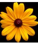 Brown Eyed Susan - Adelphi's School Flower